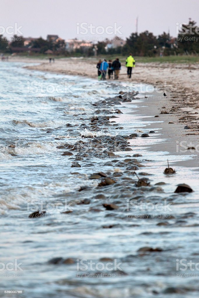 Horseshoe crabs spawn people walk Slaughter Beach Delaware Bay stock photo