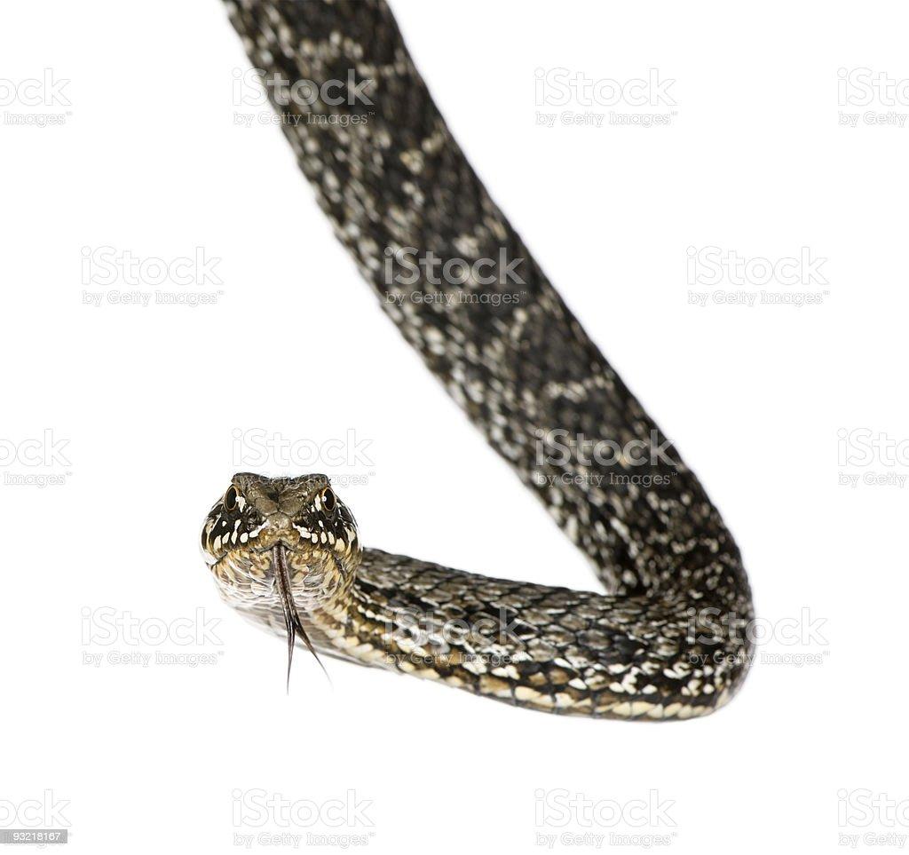 Horseshoe Whip Snake, against white background, studio shot stock photo