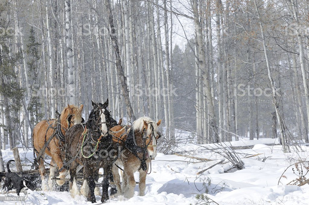 Horses,Snow, Forest stock photo