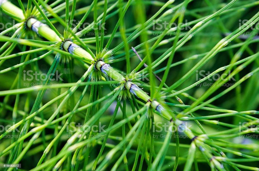 Horsetail Fern stock photo