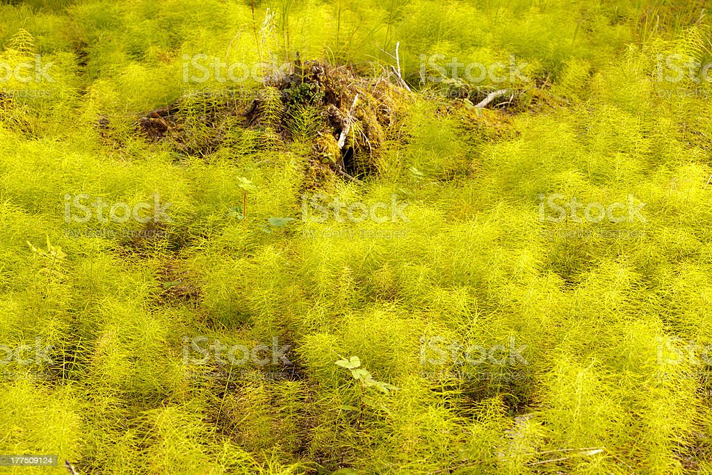 Horsetail forest floor background texture pattern royalty-free stock photo