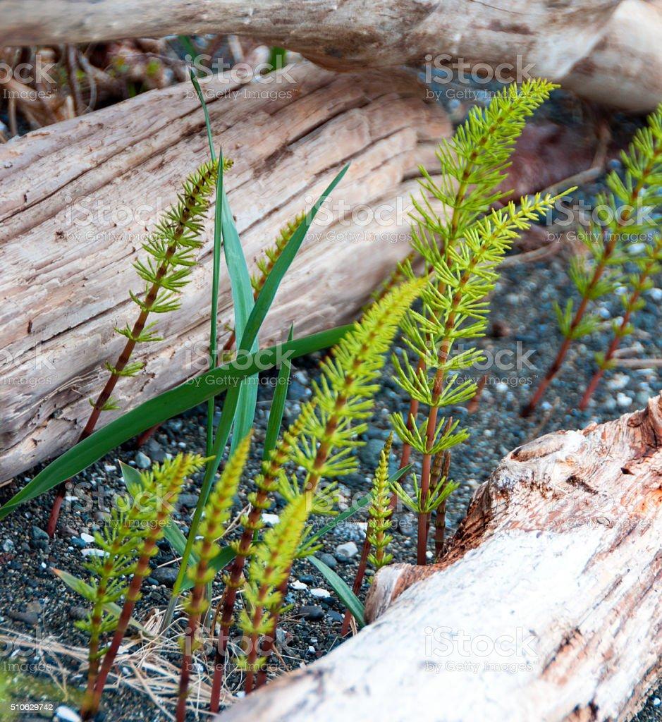 Horsetail, or equisetum, growing among driftwood logs stock photo