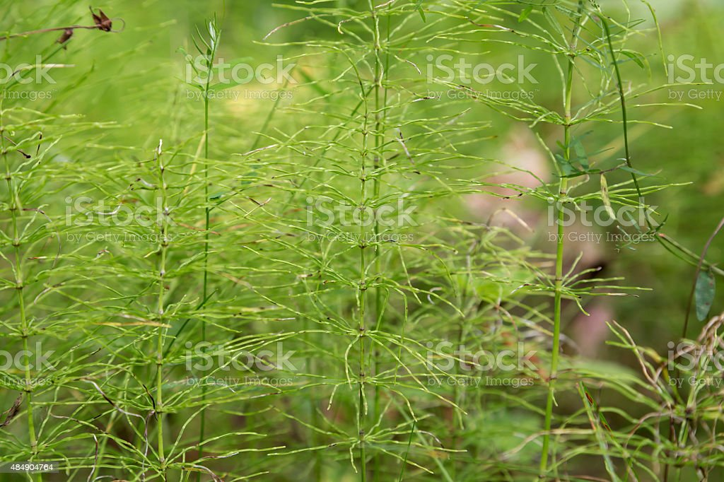 Horsetail royalty-free stock photo