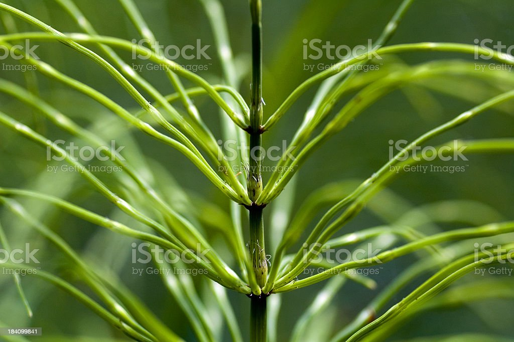 Horsetail Plant Close-up stock photo