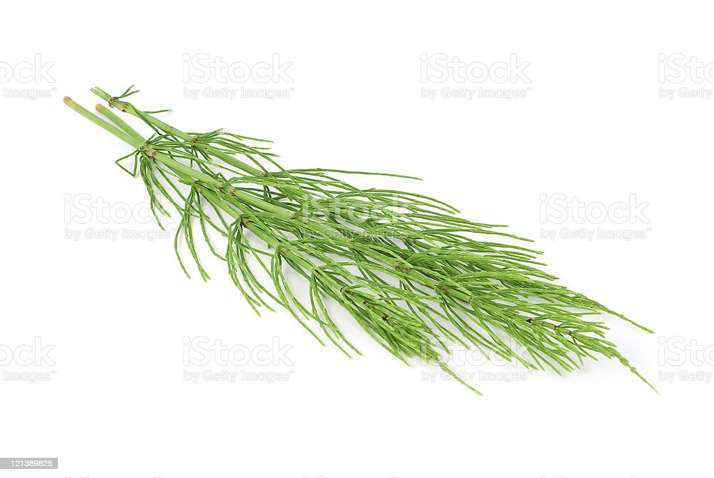 Horsetail plant heads on white background royalty-free stock photo