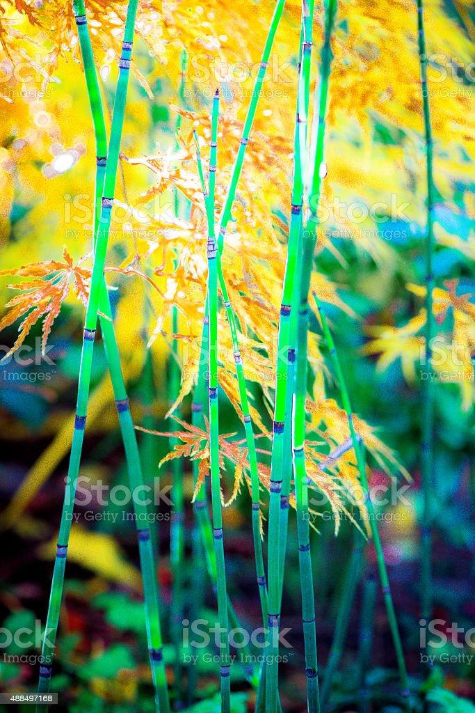 Horsetail Rush and Japanese Maple stock photo