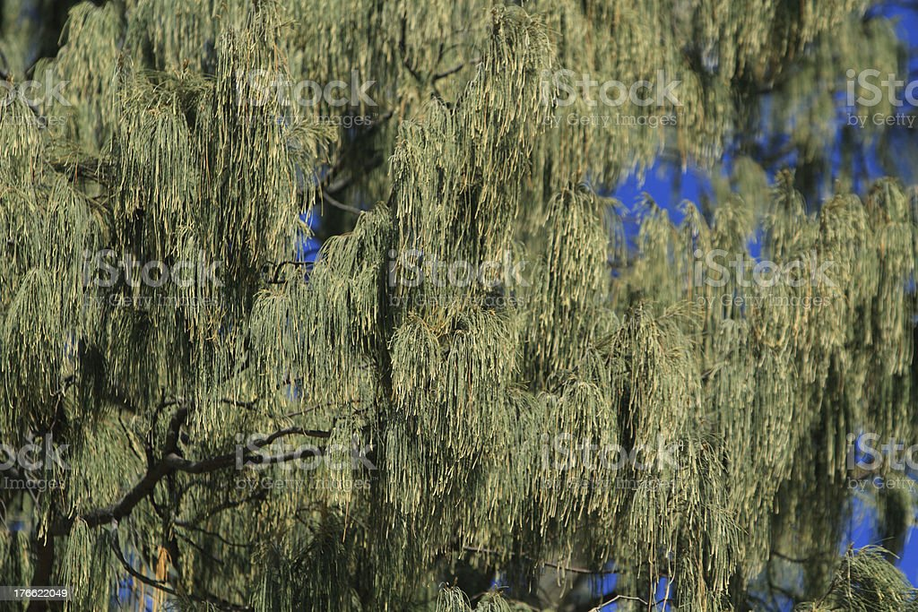 Horsetail She-Oak background stock photo
