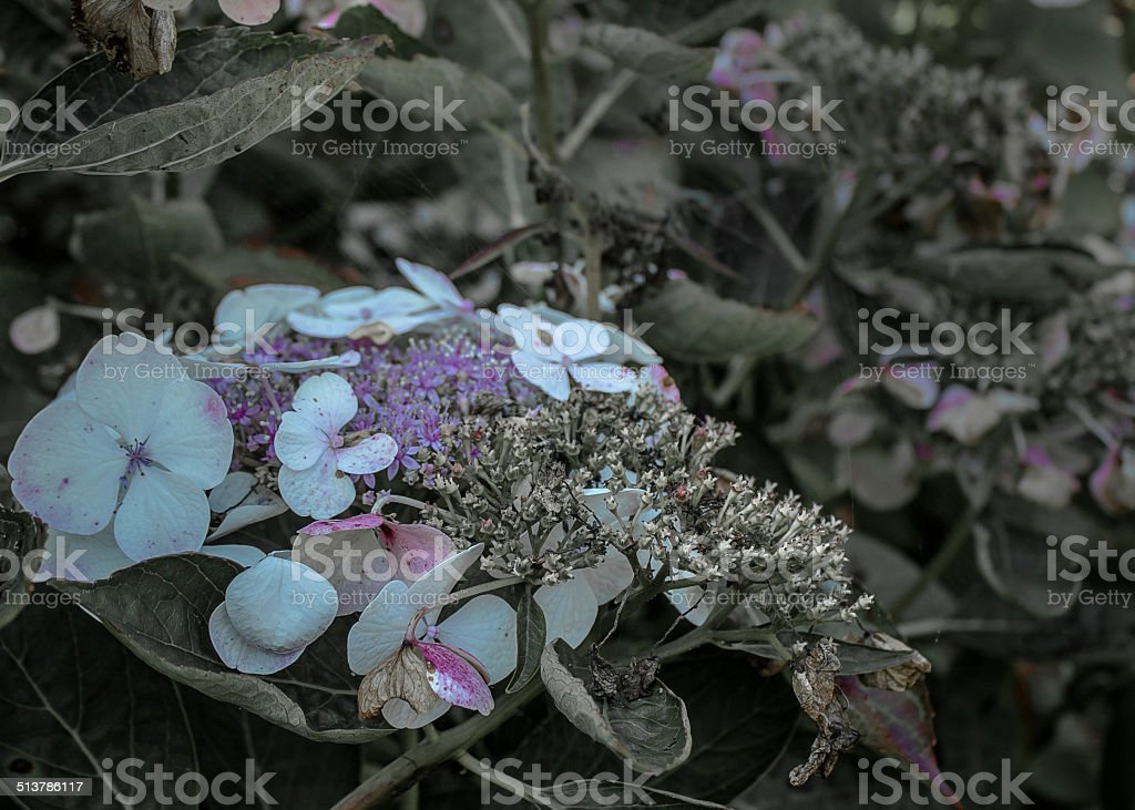 Hortense, Hydrangea starts withering in late summer stock photo