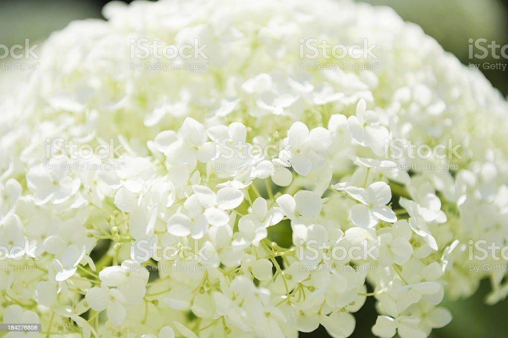 hortensia annabelle stock photo