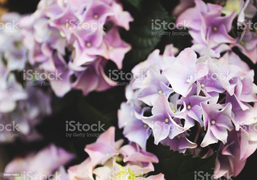 Hortensia close up, soft purple flower. stock photo
