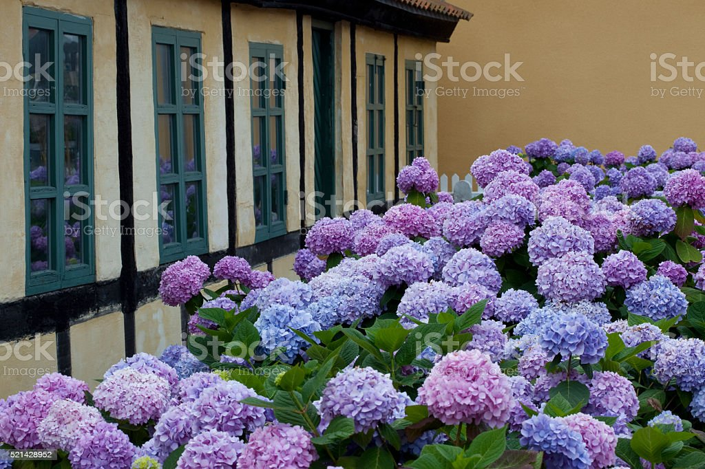 Hortensia Endless Summer in Skagen stock photo