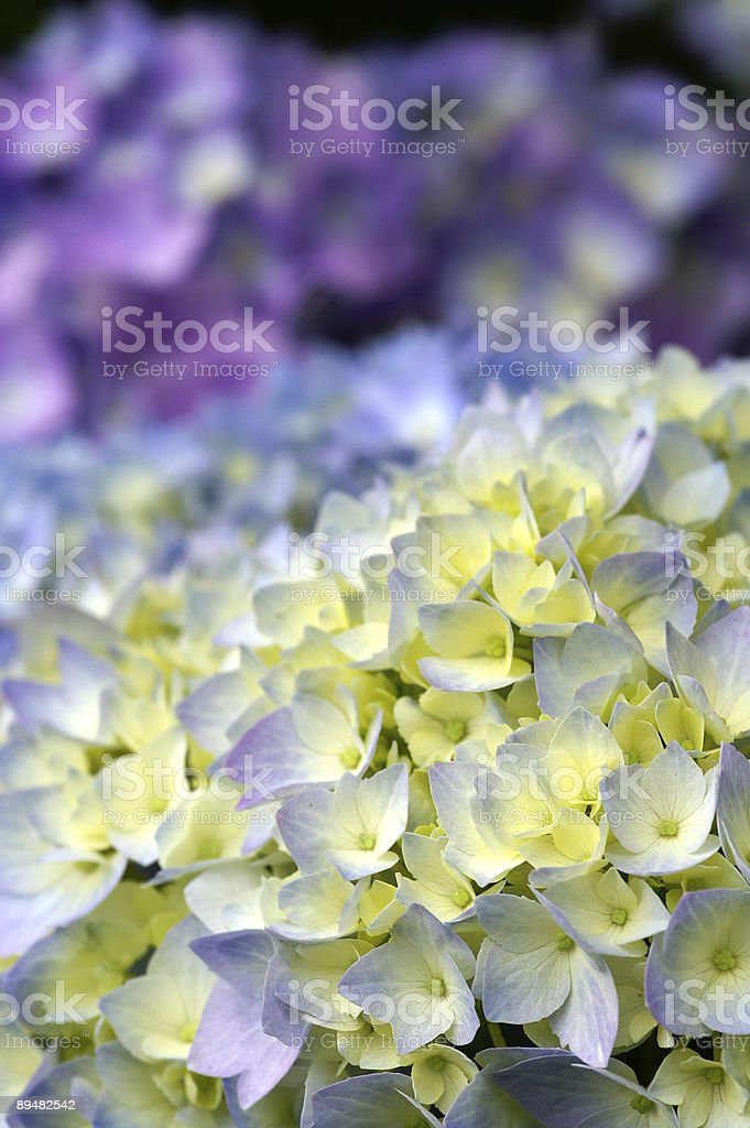 Hortensia flower 1 stock photo