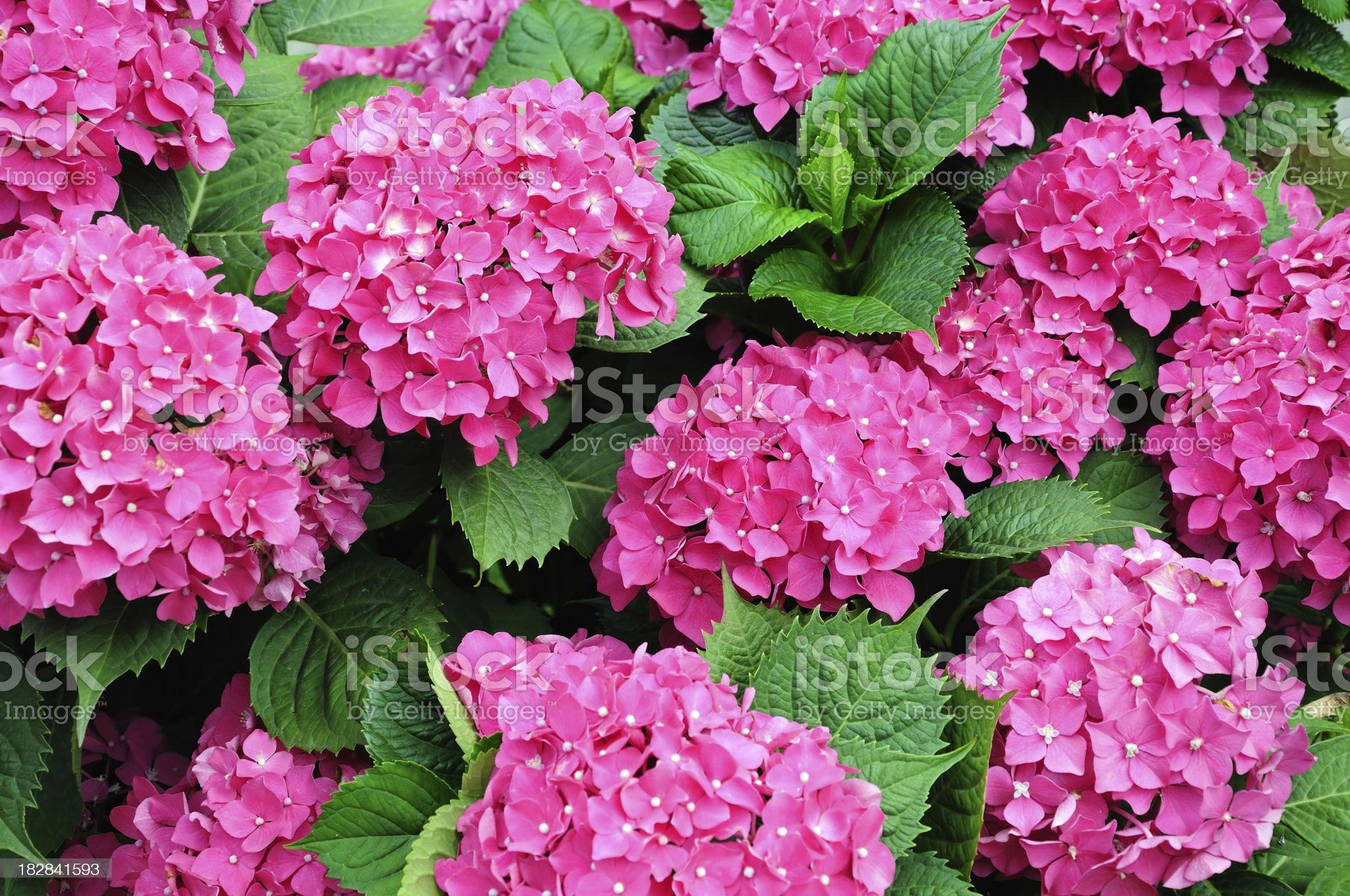 Hortensia flowers royalty-free stock photo