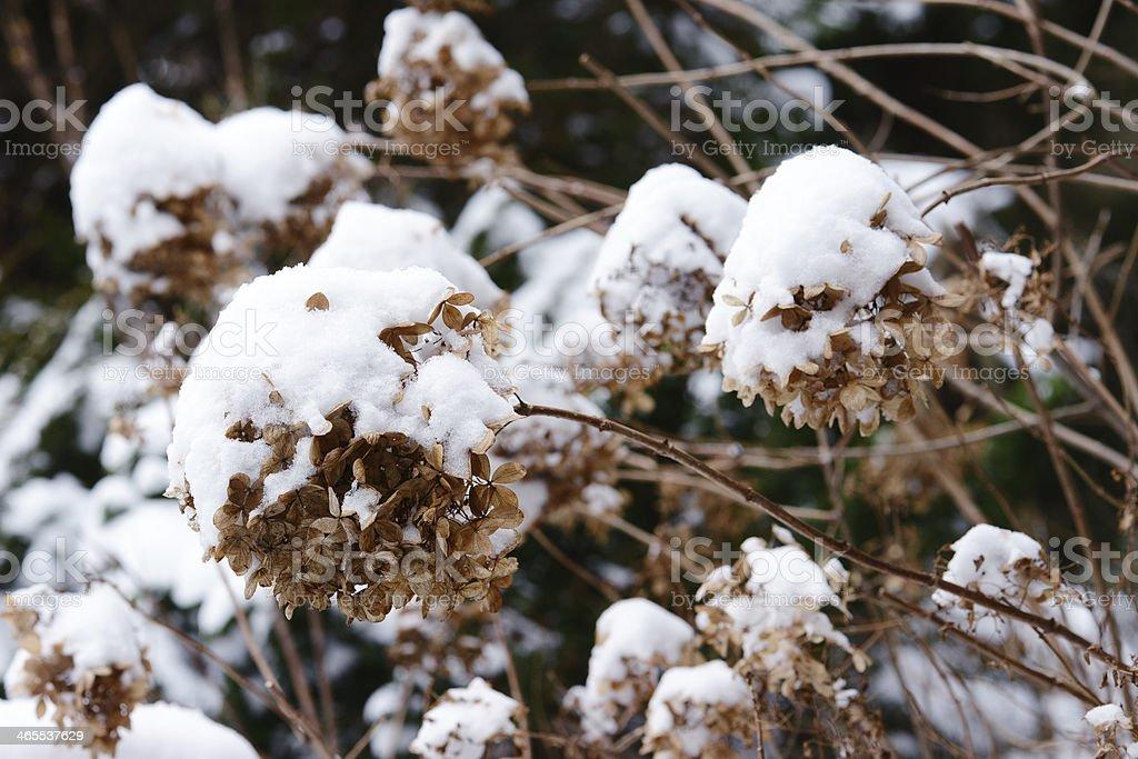 Hortensia (Hydrangea) - Hortensien stock photo