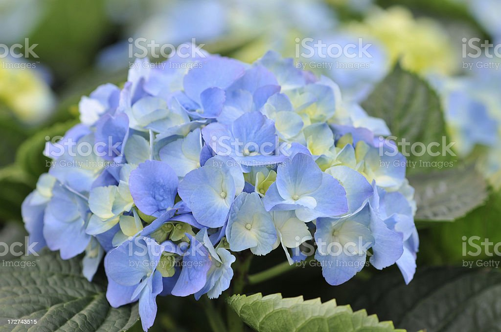 Hortensia Hydrangea Cluster royalty-free stock photo
