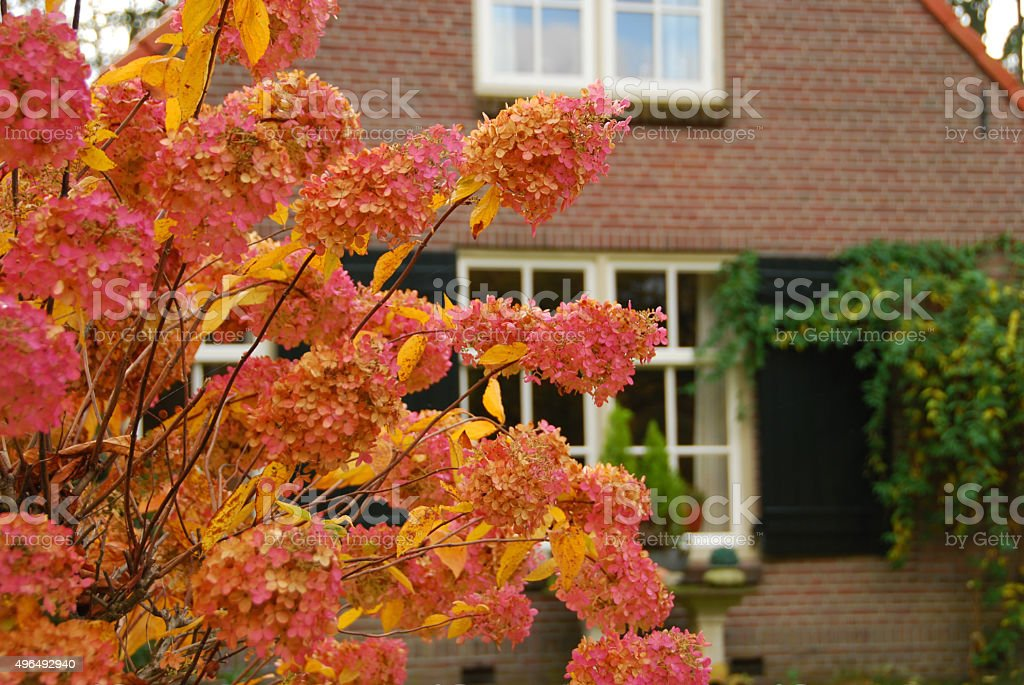 Hortensia paniculata standing in front of a Detached House. stock photo