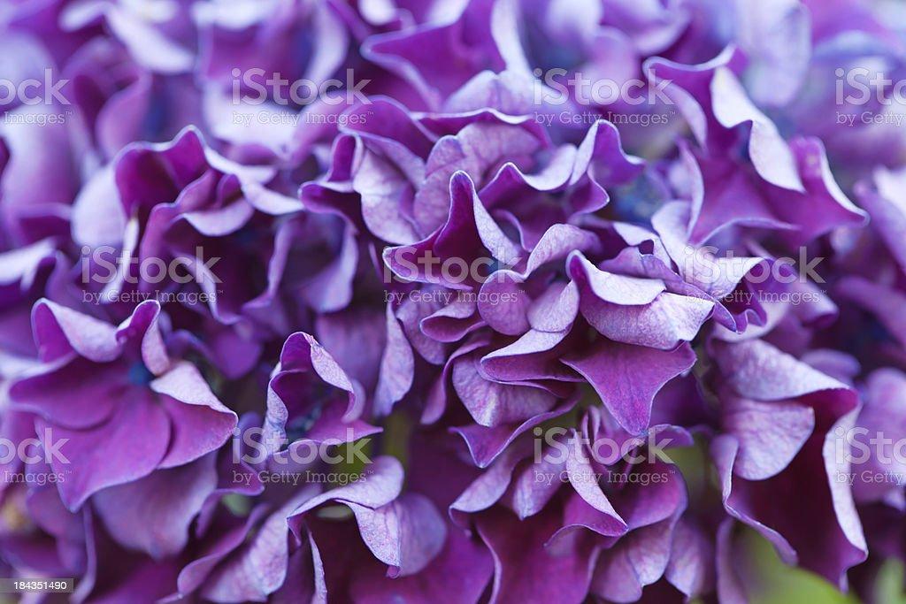 Hortensia royalty-free stock photo