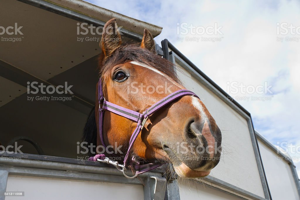 Close up of Bay horses head as it looks out from horse box which is...
