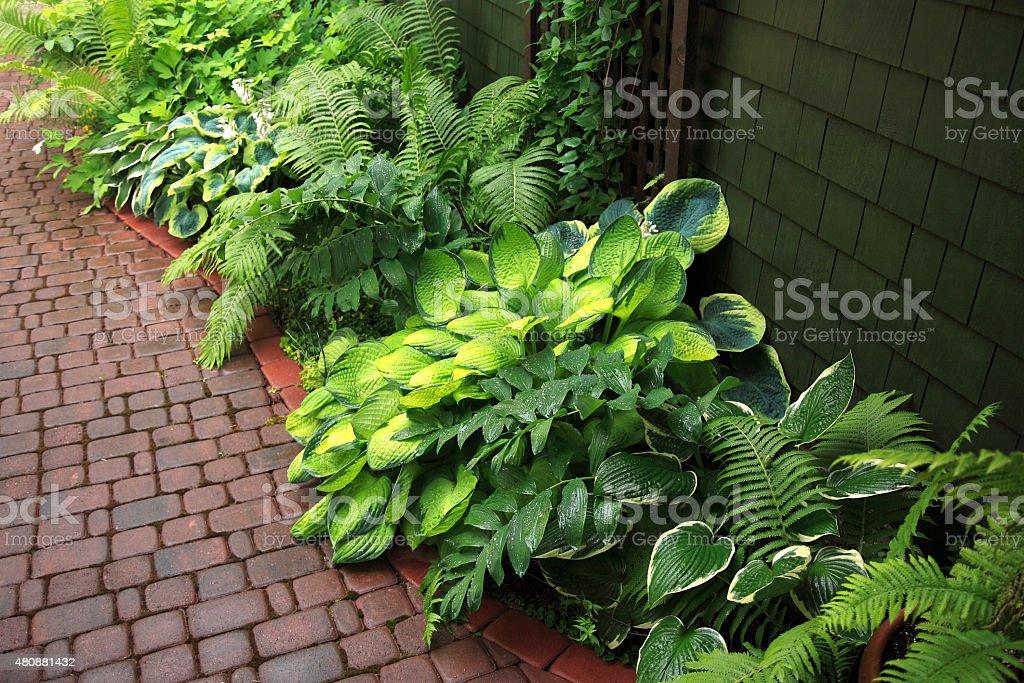 Hosta And Fern Shade Garden In The Rain stock photo