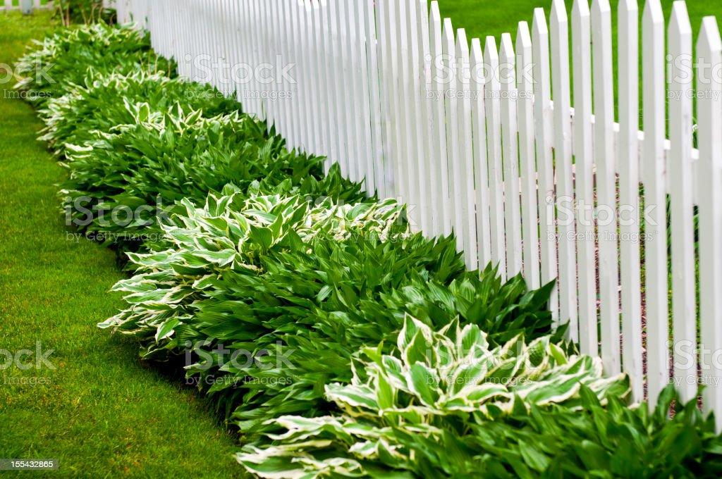 Hosta and Picket Fence stock photo