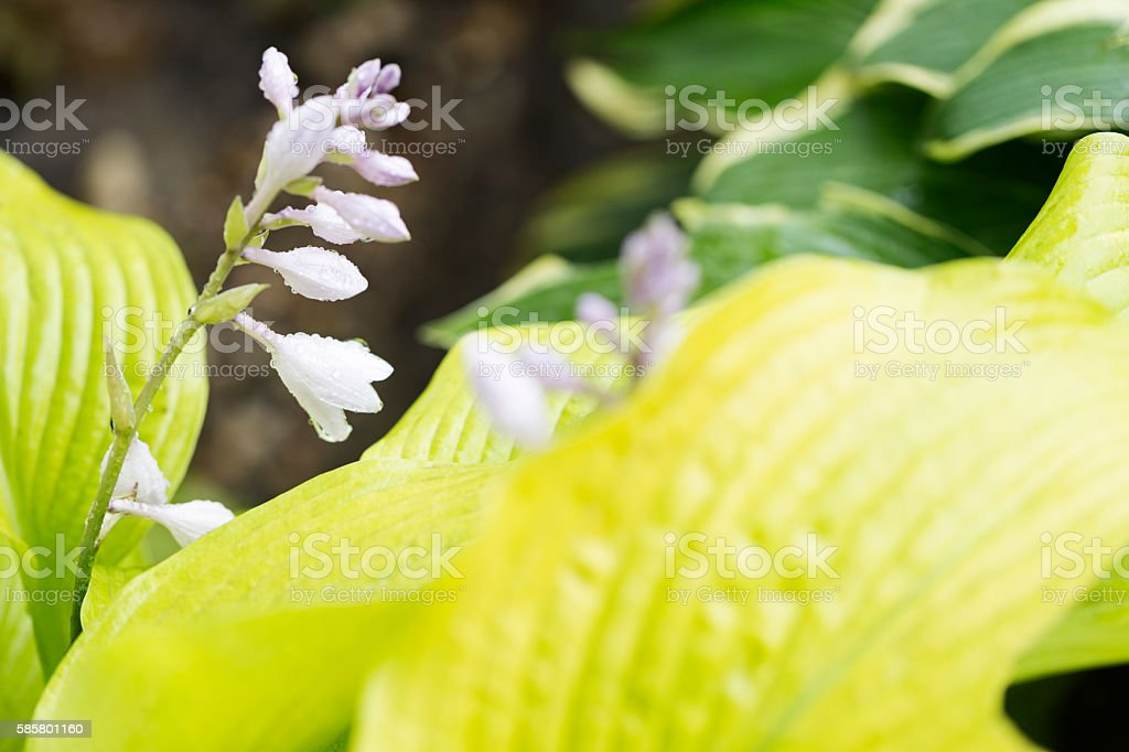 Hosta Flowers and Leaves stock photo