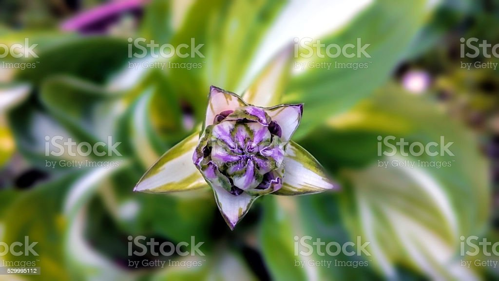 Hosta giboshi bud stock photo