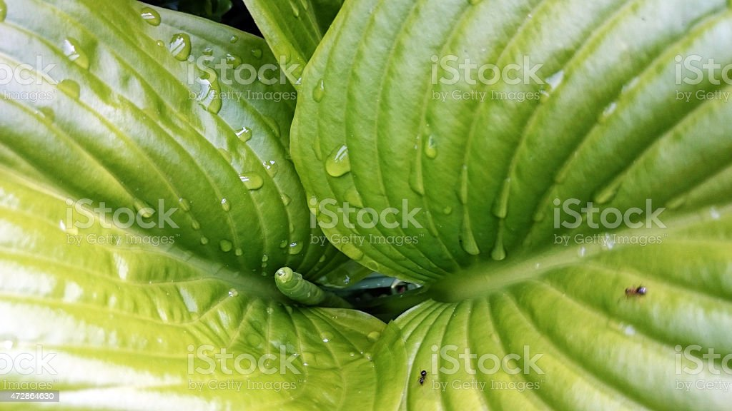 Hosta giboshi leaf stock photo