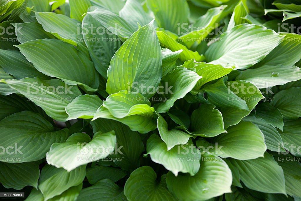 Hosta green leaves stock photo