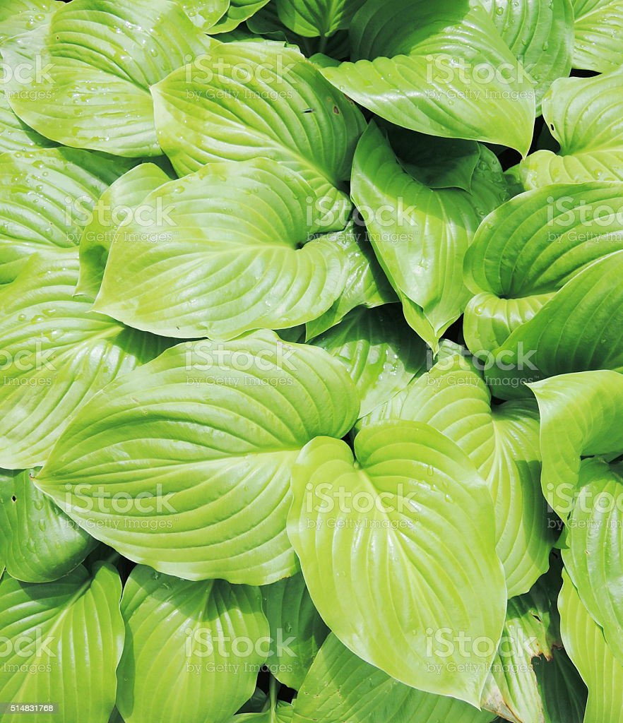 hosta in the garden stock photo