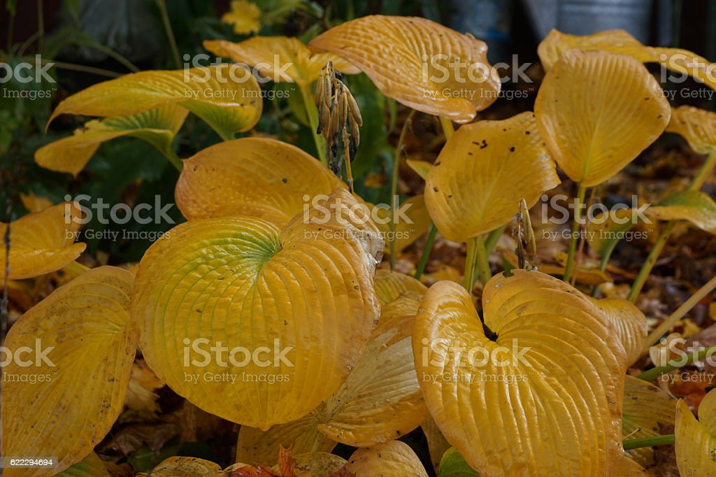 Hosta leaf in autumn stock photo