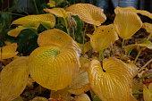Hosta leaf in autumn