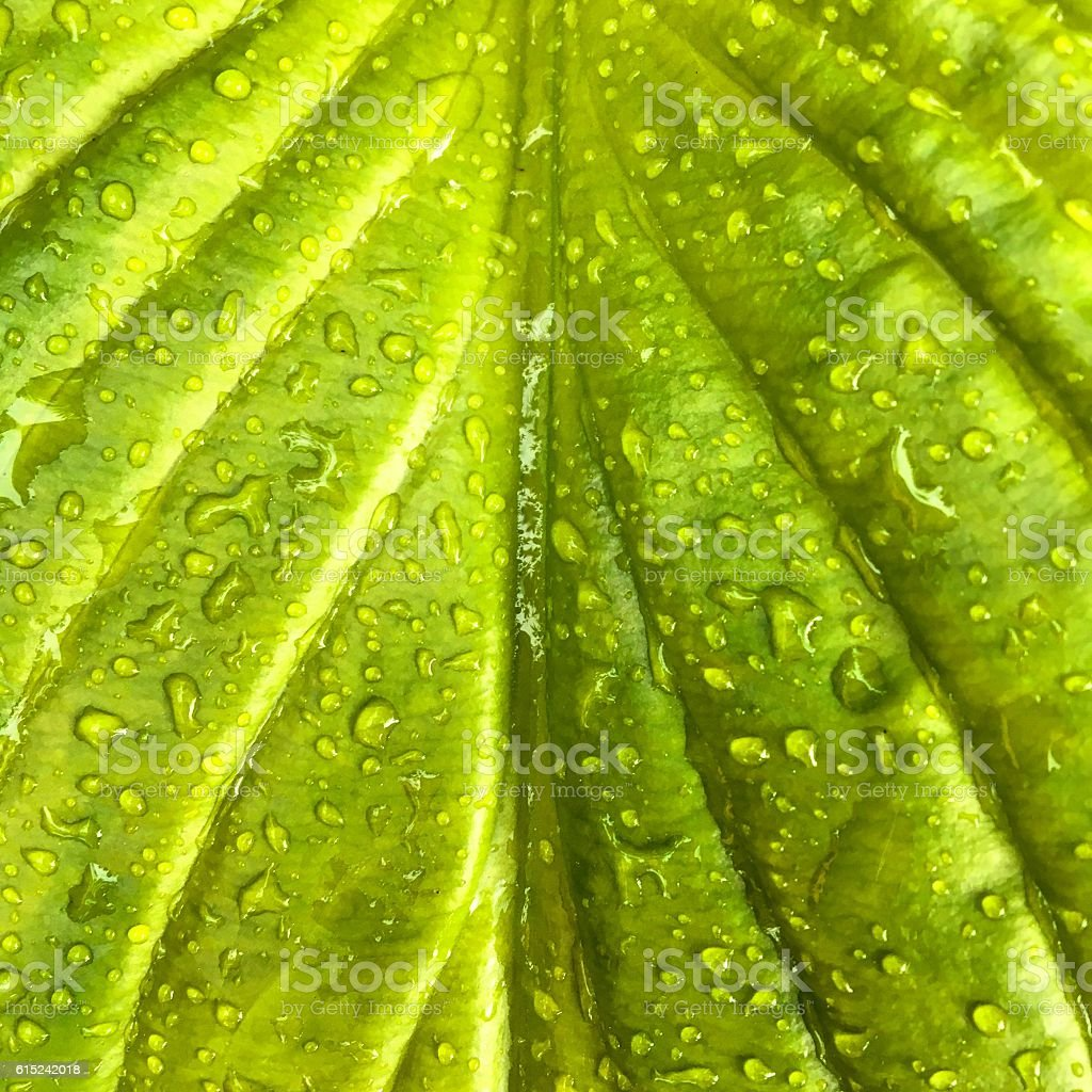 Hosta Leaf stock photo