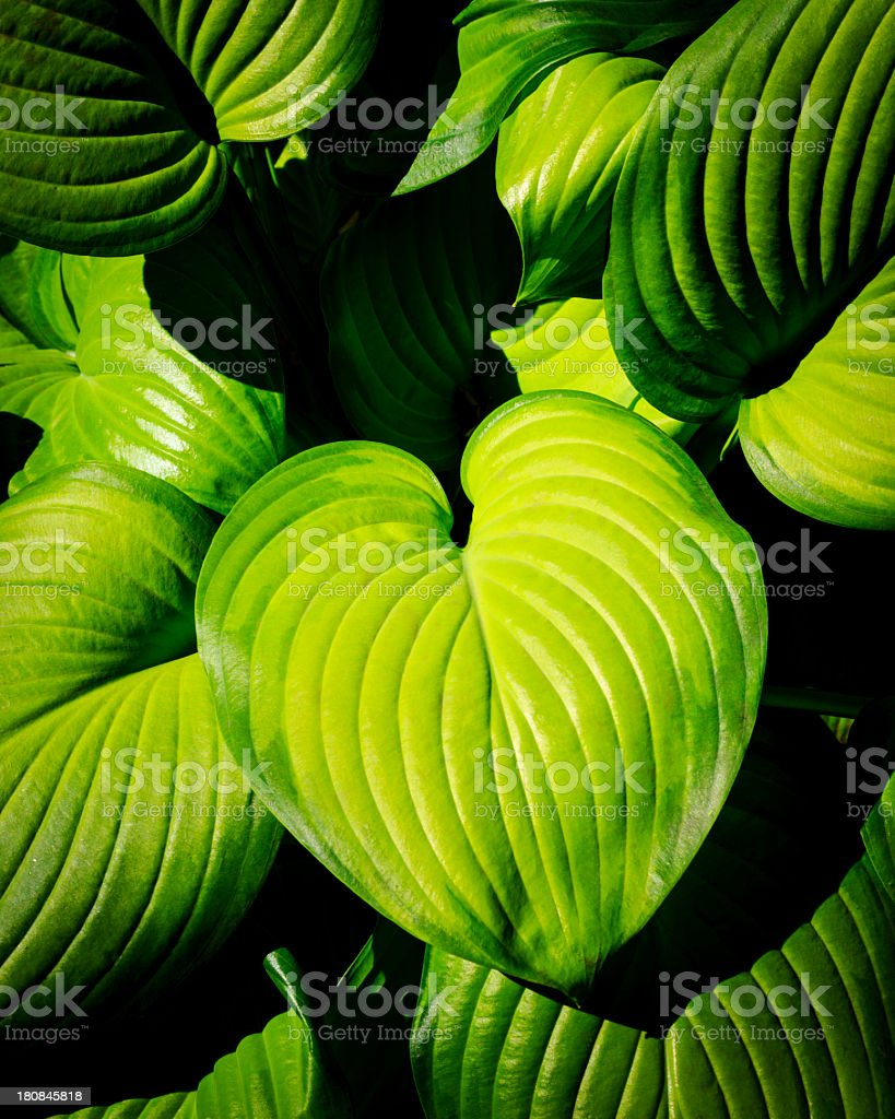 hosta leafage stock photo