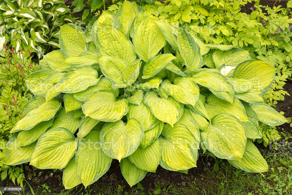 hosta leaves after a rain stock photo