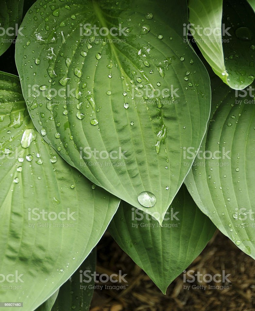 Hosta Leaves After Rain stock photo