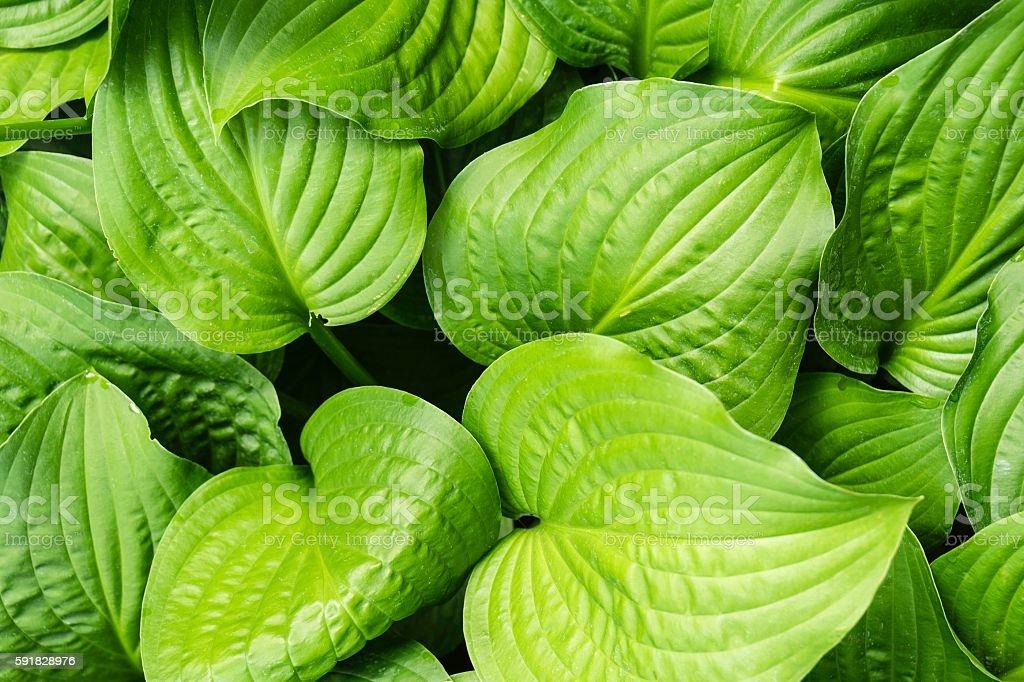 Hosta Leaves Background stock photo