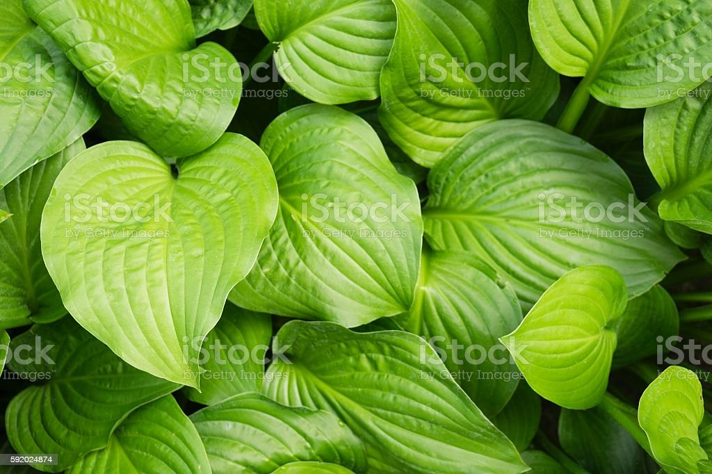 Hosta Leaves in Summer Garden stock photo