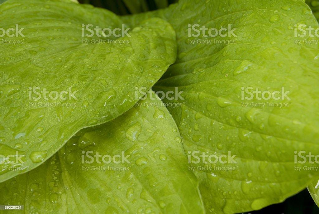 Hosta leaves stock photo