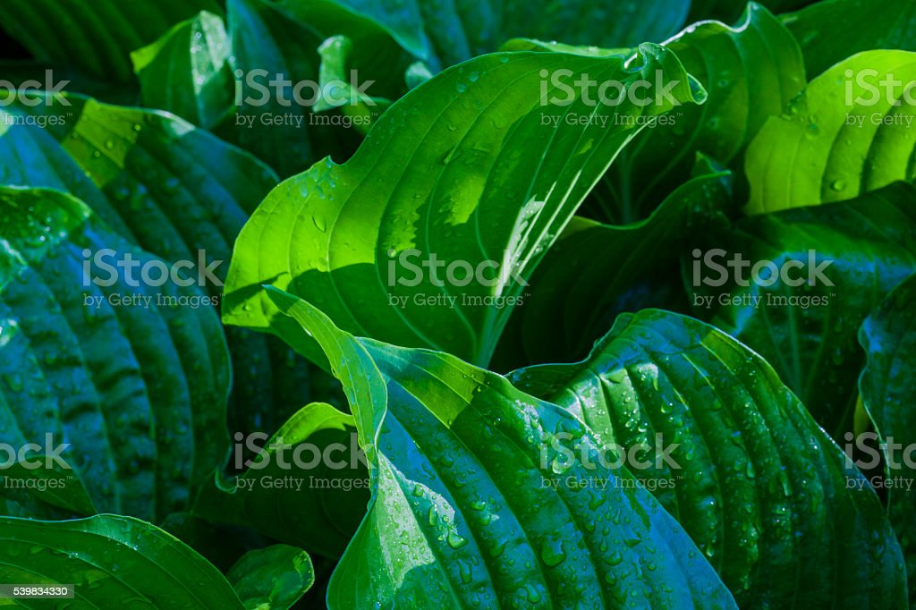 hosta macro stock photo