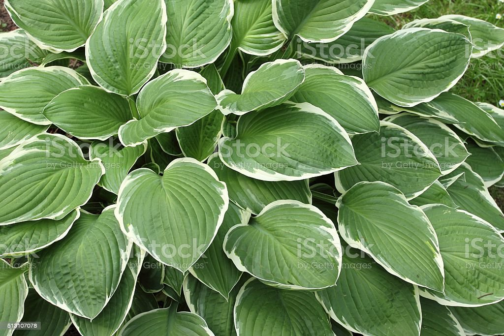Hosta. stock photo