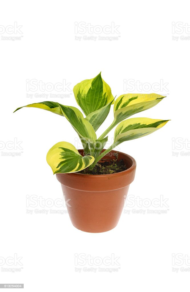 Hosta stock photo