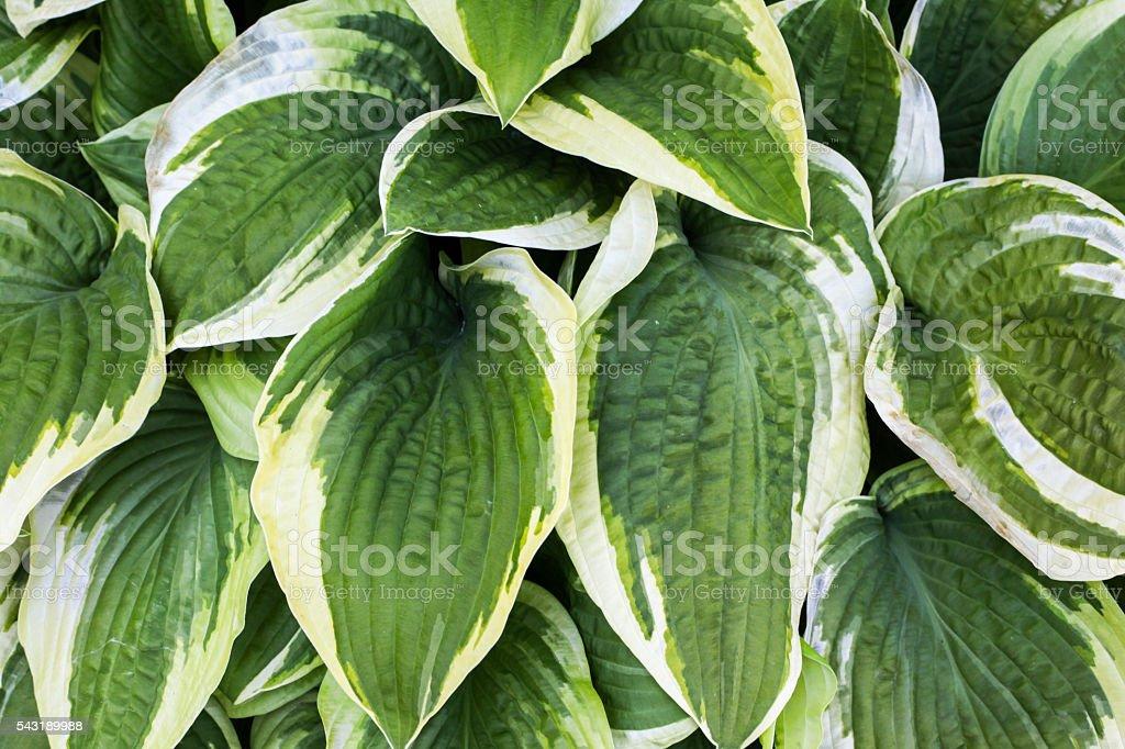 Hosta stock photo