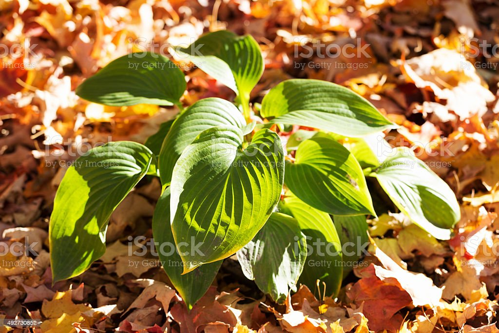 Hosta Plant and Fallen Leaves in Autumn stock photo