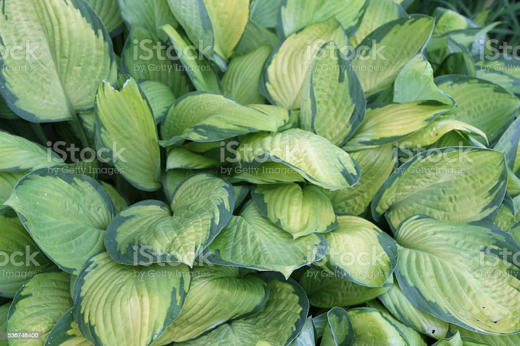Hosta plant in garden stock photo