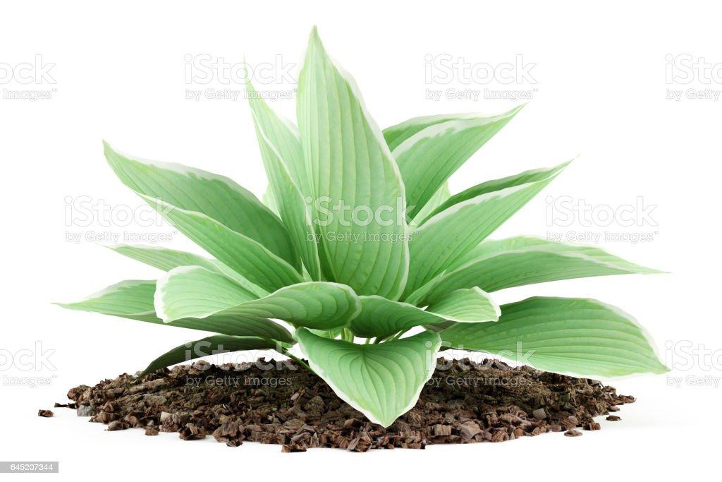 hosta plant isolated on white background stock photo