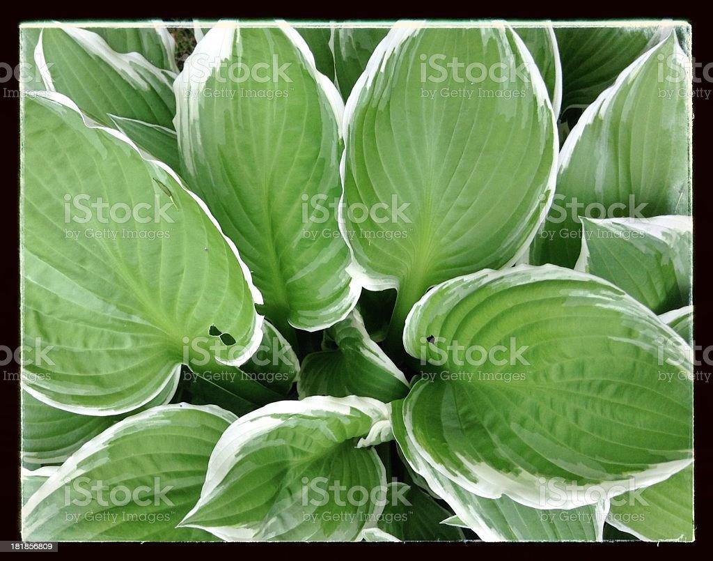 Hosta plant royalty-free stock photo