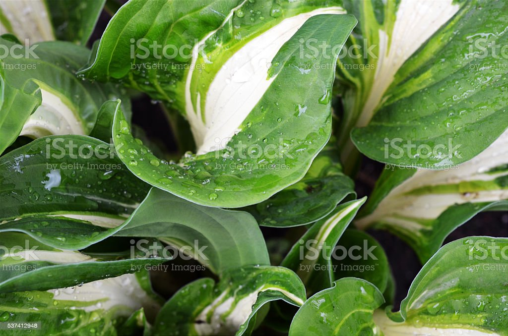 Hosta Plant stock photo