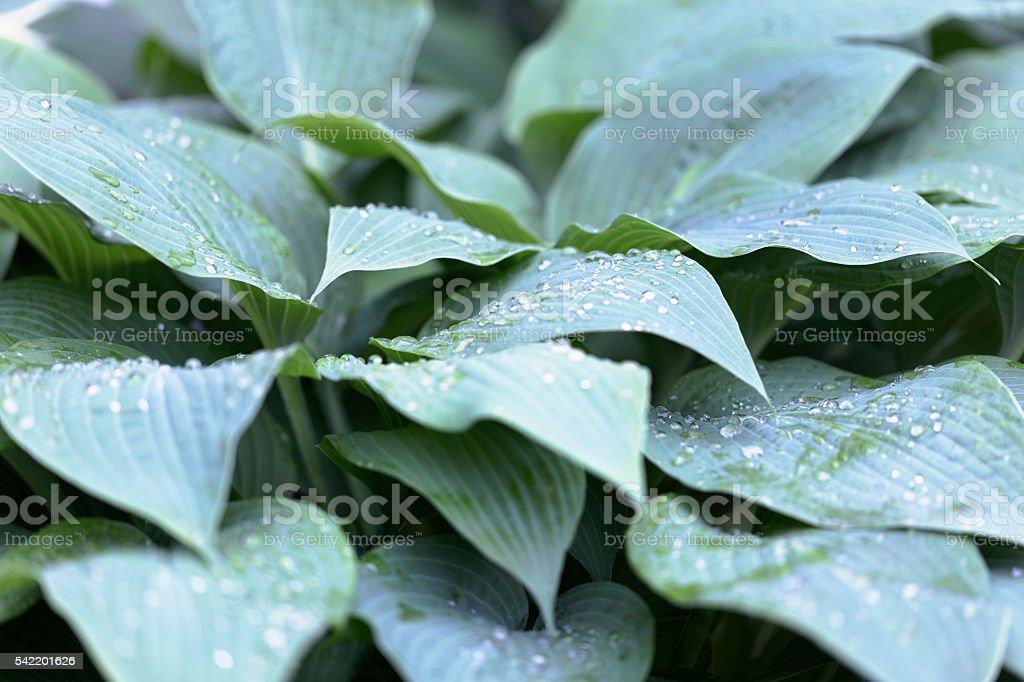 Hosta Plant with Raindrops stock photo