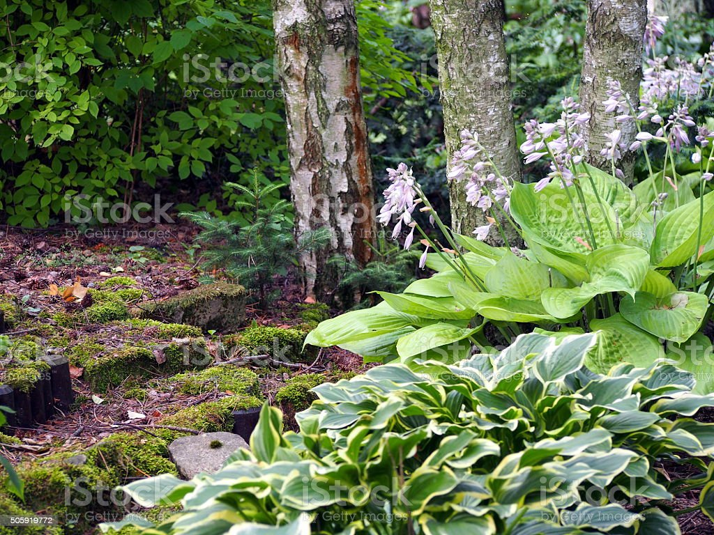 Hosta plants in the park stock photo