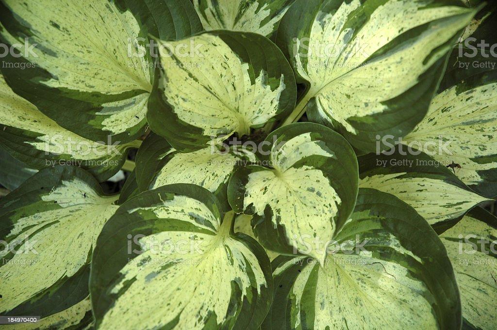 Hosta Revolution Swirl of Leaves stock photo